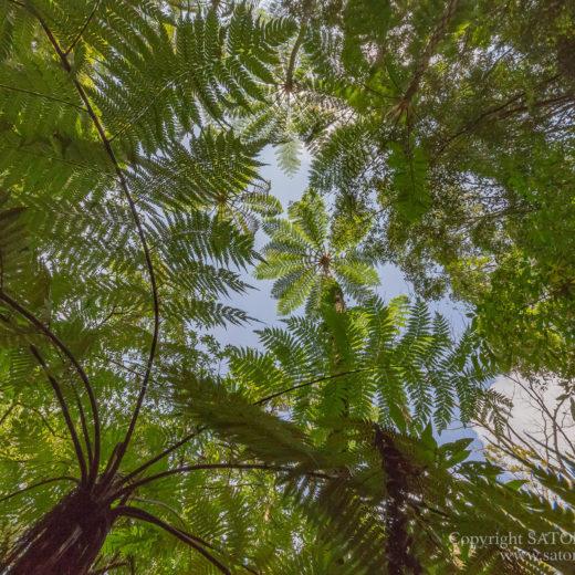 金作原原生林のヒカゲヘゴ