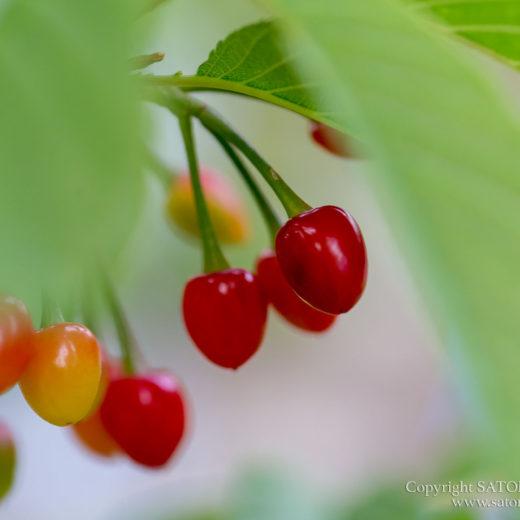 緋寒桜のさくらんぼ