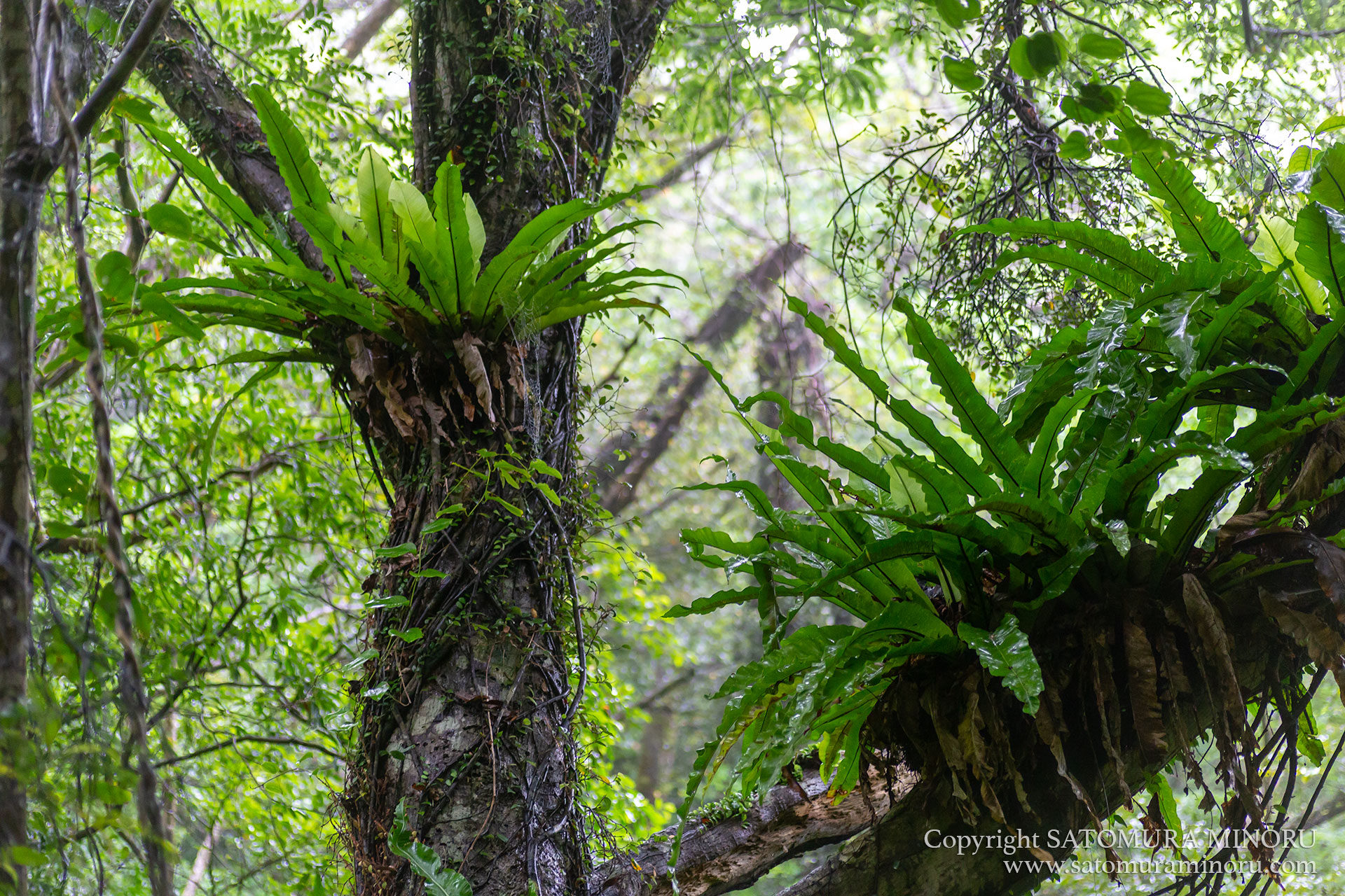 雨の金作原原生林