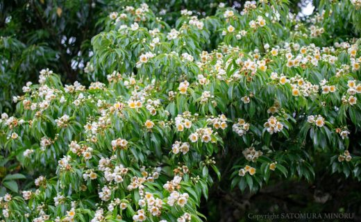 イジュの花